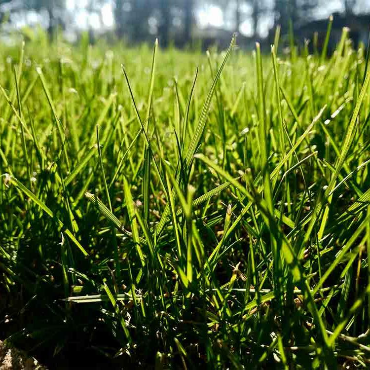 Fertilized lawn grass in Richmond VA